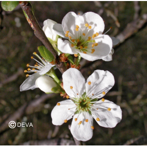 Prunus - Cherry plum