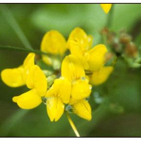 Alfalfa chilota - Lotus...