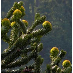 Araucaria - Araucaria du Chili