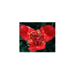 Flor de un día - Fleur du...
