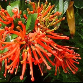 Notro - Arbre de feu du Chili