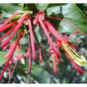 Quintral - Gui à fleurs rouges